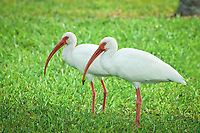 A pair of white ibis foraging for insects and worms beneath the lawn of a local city park in Titusville, Florida.