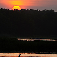 A great blue heron (Ardea herodias) in a marsh impoundment with the setting sun, Bombay Hook National Wildlife Refuge, Smyrna, Delaware