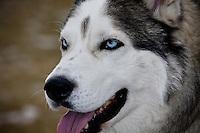 A beautiful Siberian Husky at the Southland Dog Park