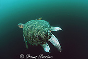 male green sea turtle, Chelonia mydas, has injuries on tail and rear flippers from other males biting it trying to displace it while it was mating, Sipadan Island, Sabah, Malaysia ( Celebes Sea / Western Pacific Ocean )