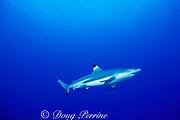 blacktip reef shark or blackfin reef shark, Carcharhinus melanopterus, Moorea, Society Islands, French Polynesia ( South Pacific Ocean )