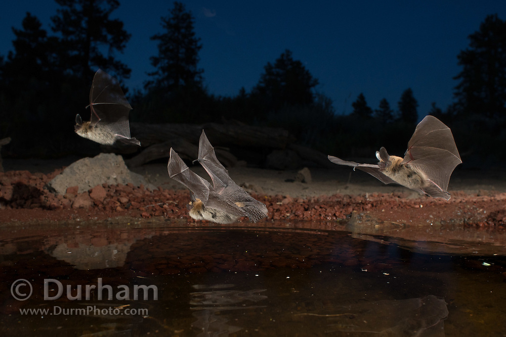 At dusk, three western long-eared bats (Myotis evotis) take turns drinking from a desert watering hole in the high desert of Oregon.