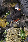 Tufted Puffin, Fratercula cirrhata, St. Paul Island, Pribilof Islands, Alaska. Digital original #07_0539