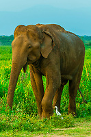 Elephant and bird have a symbiotic relationship, Udawalawe National Park, Sri Lanka. Udawalawe is an important habitat for water birds and Sri Lankan elephants.