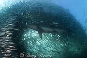 copper shark or bronze whaler, Carcharhinus brachyurus, feeding in baitball of sardines or pilchards, Sardinops sagax, the Wild Coast, Transkei, South Africa ( Indian Ocean )