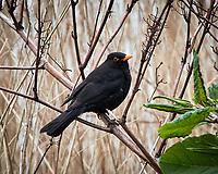 Eurasian Blackbird (Turdus merula). Antwerp, Netherlands. Image taken with a Nikon N1V2 camera and 10-100 mm VR lens.