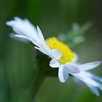 Spring petals of a Daisy up close