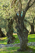 Sunlight through old olives trees, Olea europaea in olive grove for traditional olive oil in sub-tropical climate of Corfu, Greece