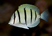 The Manini or Convict Surgeonfish, Acanthurus triostegus.