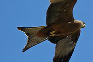 Yellow-billed kite, Milvus aegyptius, Serengeti NP, Tanzania