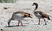 A pair of Egyptian geese (Alopochen aegyptiaca) grazing on sparse grass shoots. Sinya Wildlife Management Area, Tanzania.