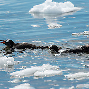 A pair of Gentoo penguins (Pygoscelis papua) swim in the icy waters of Neko Harbour on the Antarctic Peninsula.