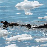 A pair of Gentoo penguins (Pygoscelis papua) swim in the icy waters of Neko Harbour on the Antarctic Peninsula.