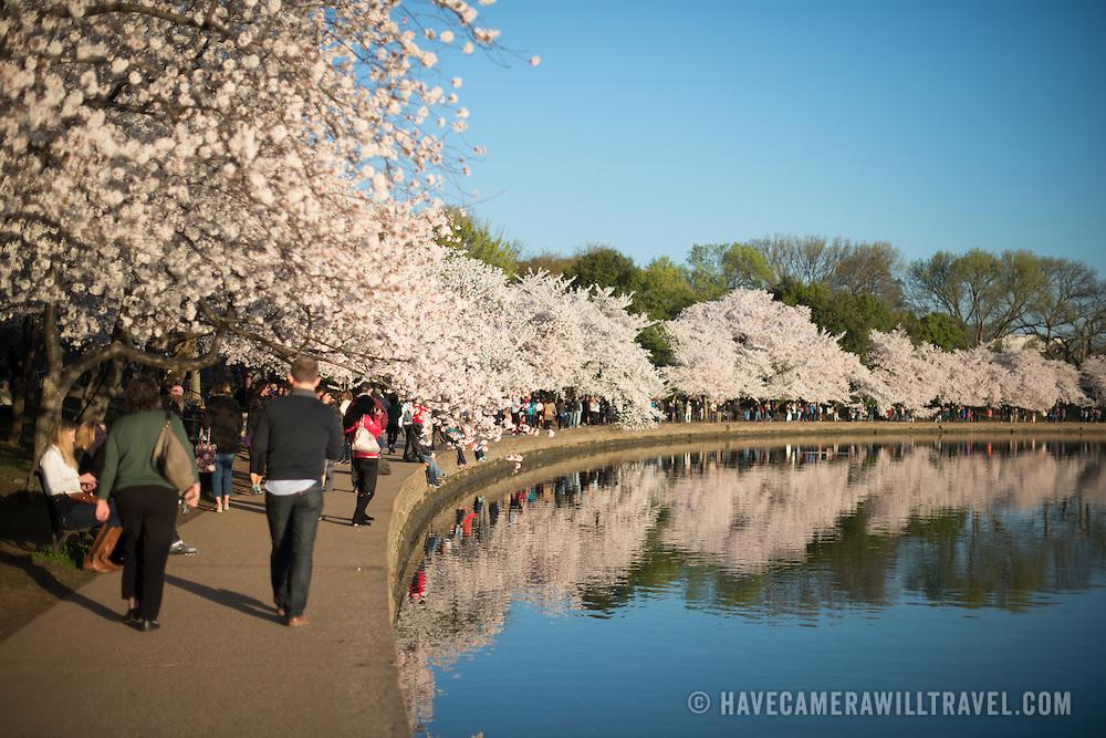 Visitors walk beneath the famous cherry blossoms in Washington DC.