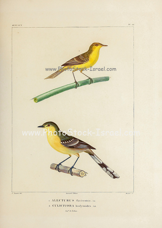 hand coloured sketch Top: crested doradito (Pseudocolopteryx sclateri [Here as Alecturus flaviventris]) Bottom: greater wagtail-tyrant (Stigmatura budytoides  [Here as Culicivora budytoides]) From the book 'Voyage dans l'Amérique Méridionale' [Journey to South America: (Brazil, the eastern republic of Uruguay, the Argentine Republic, Patagonia, the republic of Chile, the republic of Bolivia, the republic of Peru), executed during the years 1826 - 1833] 4th volume Part 3 By: Orbigny, Alcide Dessalines d', d'Orbigny, 1802-1857; Montagne, Jean François Camille, 1784-1866; Martius, Karl Friedrich Philipp von, 1794-1868 Published Paris :Chez Pitois-Levrault et c.e ... ;1835-1847