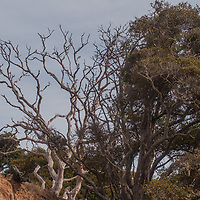 Living and dead oak trees contrast sharply on a hillside in Angel Island State Park, in San Francisco Bay, California.