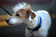 SHOT 9/22/2007 - A Jack Russell Terrier sports a mohawk at the 38th Annual Oktoberfest in Denver, Co. Modeled after Oktoberfest in Munich Germany, Oktoberfest on Larimer Street commemorates this world-famous and time-honored tradition of German heritage. The festival has truly become a Denver mainstay offering German attractions, music from national touring groups, performances by international dancers, children?s activities, heritage booths selling German good, splendid décor, and accordion concert, and authentic cuisine. Oktoberfest Denver will move from its previous home on Larimer Square to Denver?s Ballpark Neighborhood. The new site, on Larimer Street between 20th and 22nd..(Photo by Marc Piscotty © 2007)