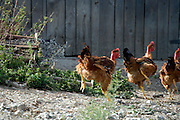 three big brown chickens running away outdoors