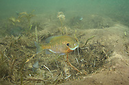 Bluegill on Spawning Nest<br /> <br /> Roger Peterson/Engbretson Underwater Photography
