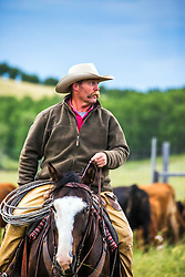 An Alberta Canada rancher working his cows in the foothills of the western prairie.