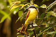 Great Kiskadee, pitangus sulphuratus, Cloud Forest, Arenal, Costa Rica