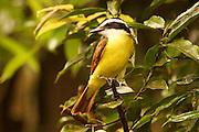 Great Kiskadee, pitangus sulphuratus, Cloud Forest, Arenal, Costa Rica