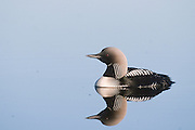 Alaska. Pacific Loon ( Gavia pacifica) ANWR.