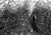 1963 - Views of tomato farm at Kinsealy and fruit mart at Rush, Co. Dublin