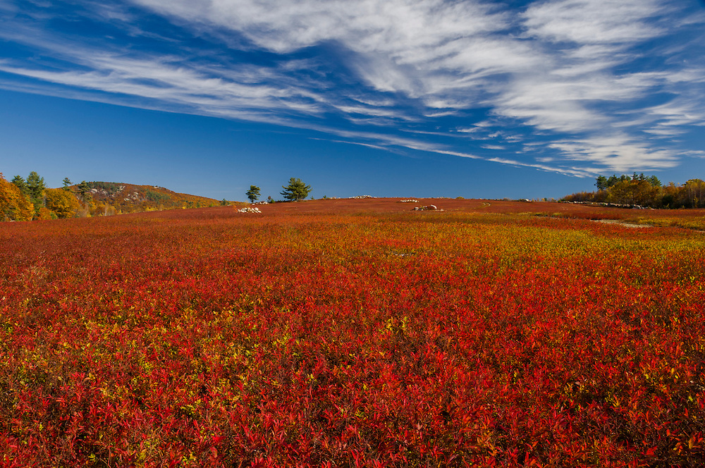 Blueberry fields in bright fall reds, Cirrus clouds, Gilmanton, NH