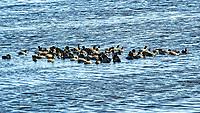 American Coot (Fulica americana). Black Point Wildlife Drive, Merritt Island Wildlife Refuge. Merritt Island, Brevard County, Florida. Image taken with a Nikon D3 camera and 80-400 mm VR lens.