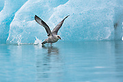 Northern Fulmar (Fulmarus glacialis) in flight near blue glacier, Svalbard, Spitsbergen, Norway
