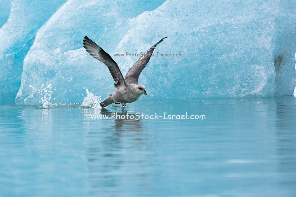 Northern Fulmar (Fulmarus glacialis) in flight near blue glacier, Svalbard, Spitsbergen, Norway