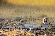 Cheetah yawning,Grumeti,Tanzania