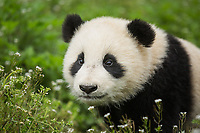 Giant panda, Ailuropoda melanoleuca, approximately 6-8 months old, sitting in wildflowers.
