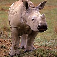 East Africa, Kenya. Young White Rhino