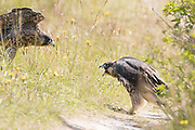 Peregrine (Falco peregrinus) juvenile siblings confront each other on the ground. Sussex, UK.