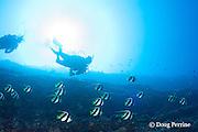 divers and longfin bannerfish, pennant butterflyfish, pennantfish, or false moorish idol, Heniochus diphreutes, on reef drop-off, Pyramid Point, Lehua Rock, off Niihau, Hawaii, USA ( Central Pacific Ocean )