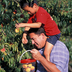 A father and son pick peaches at the J and F Farm.  Derry, NH