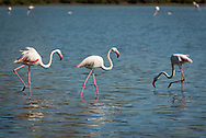 Costa Rei, Sardinia, Italy, June 2015. Flamingoes, flamingo, flamingos, Costa Rei is located on the south coast of Sardinia about 50km from Cagliari. The coastline is renowned for its crystal clear water, golden sands and long beaches. Photo by Frits Meyst / MeystPhoto.com