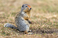 A Columbian Ground Squirrel (Urocitellus columbianus) keeps and eye out for danger by its burrow at Manning Provincial Park in British Columbia, Canada