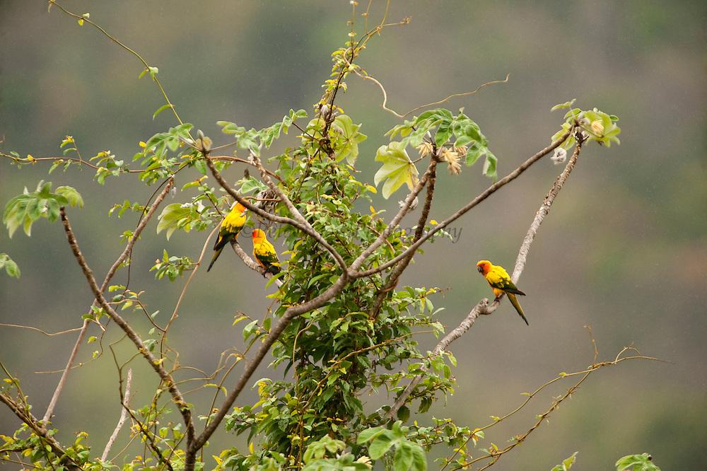 Sun Parakeet or Sun Conure (Aratinga solstitialis)<br /> Karasabai<br /> Rupununi<br /> GUYANA<br /> South America<br /> CRITICALLY ENDANGERED