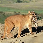Mountain Lion or Cougar, (Felis concolor) Female carrying cub. Montana.  Captive Animal.