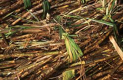 Bundles of sugar cane freshly harvested,