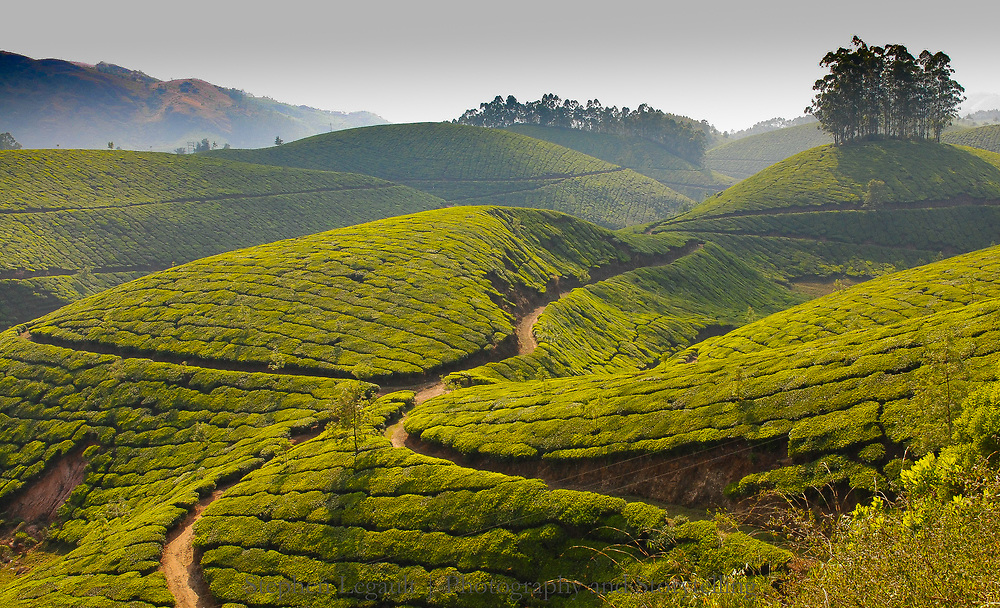 Tea Plantations, Western Ghats, India