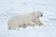 Polar bears Ursus maritimus on frozen tundra<br /> Churchill<br /> Manitoba<br /> Canada