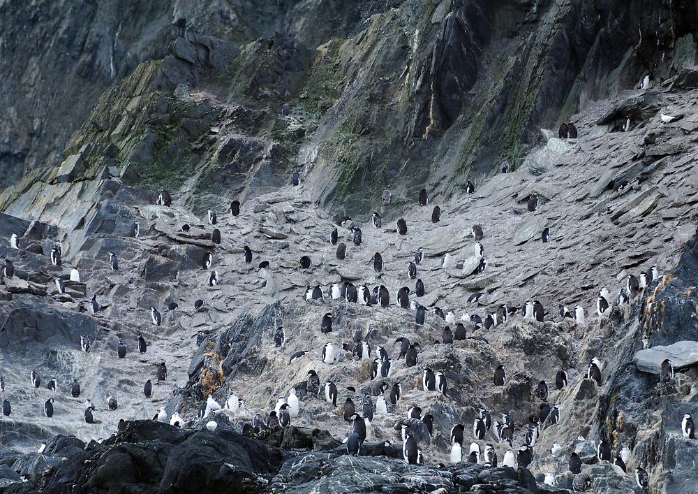 Chinstrap Penguins (Pygoscelis antarctica) on the cliffs at Cape Lookout, Elephant Island, South Shetland Islands 29Feb16