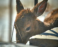 Young, sickly looking deer on my patio. Image taken with a Nikon D5 camera and 600 mm f/4 VR lens (ISO 200, 600 mm, f/4, 1/1250 sec).