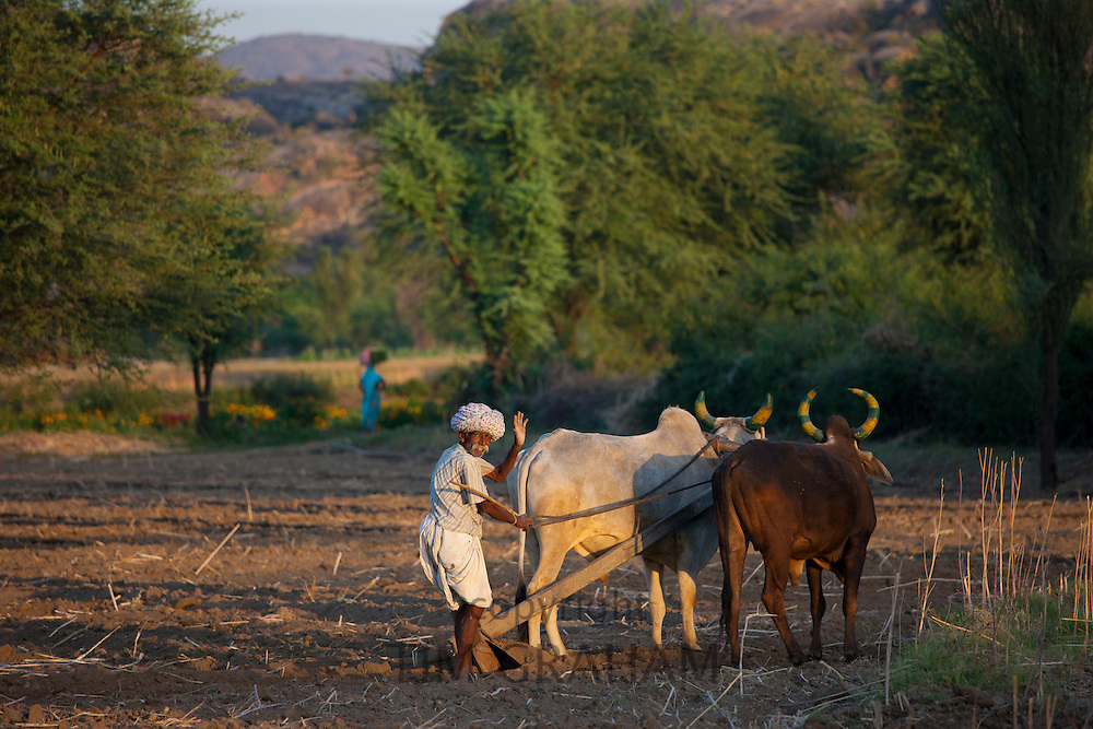 Farmer using pair of oxen to plough field for lentil crop in fields at Nimaj, Rajasthan, Northern India