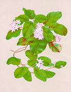 Epigaea repens, the mayflower or trailing arbutus, is a low, spreading shrub in the family Ericaceae. It is found from Newfoundland to Florida, west to Kentucky and the Northwest Territories. from the book Beautiful wild flowers of America : from original water-color drawings after nature by  Isaac Sprague, 1811-1895 Published by Troy, Nims and Knights in New York in 1884 With Descriptive text by Rev. A. B. HERVEY