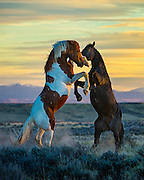 """Description/Caption:<br /> Stallions fighting on the open prairie at last light in North Central Wyoming. This image appears in the February issue of Cowboys & Indians Magazine in the Equine Division of """"Photographing the West""""."""